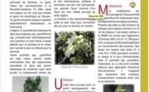 OXERA PULCHELLA subsp. GRANDIFLORA Dubard