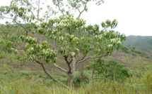 ALEURITES MOLUCCANA (L.) Willd.